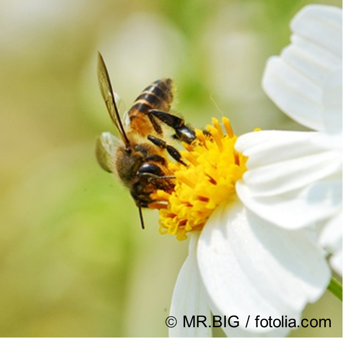 [honeybee collecting pollsfrom a flower  © MR.BIG, fotolia.com]
